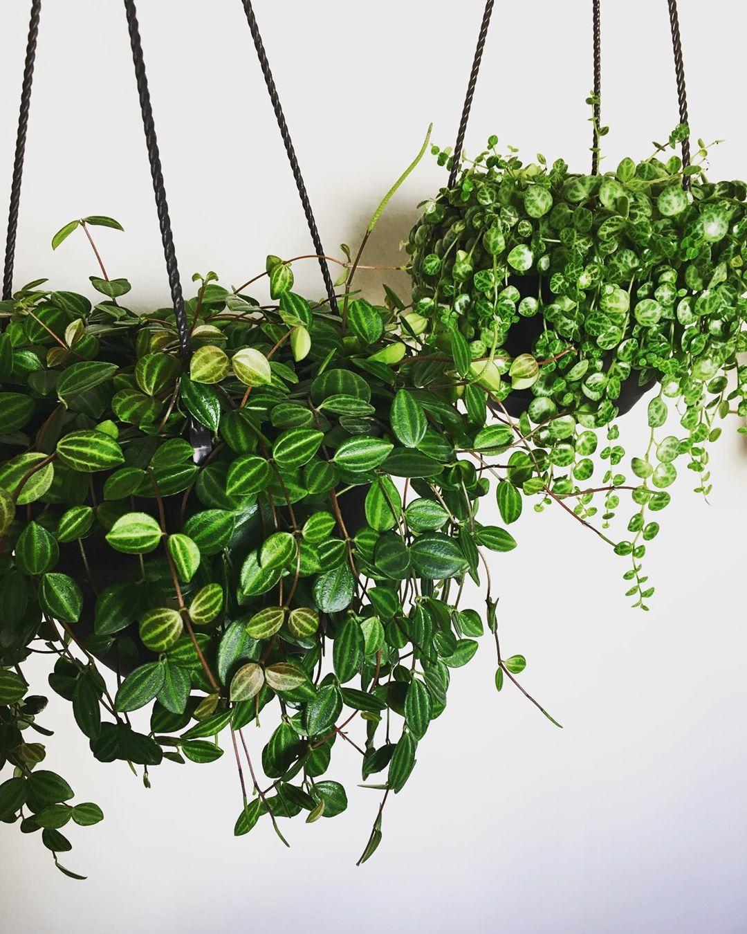 котёл впишется ампельные комнатные растения фото с названиями статье