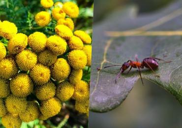 8 Растений, отпугивающих муравьев